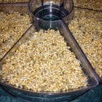 fill the tray with sprouted wheatgrass seeds