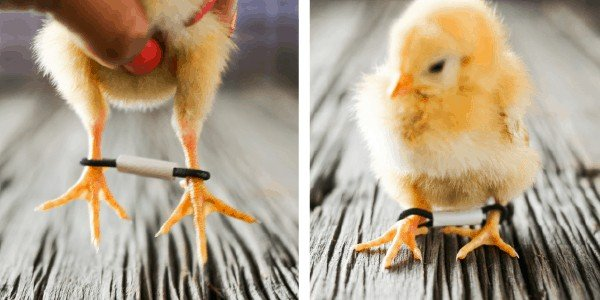 Raising Chickens: How to fix Splayed Leg or Straddle Leg