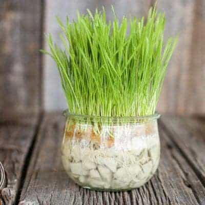 How to Grow Cat Grass Without Dirt