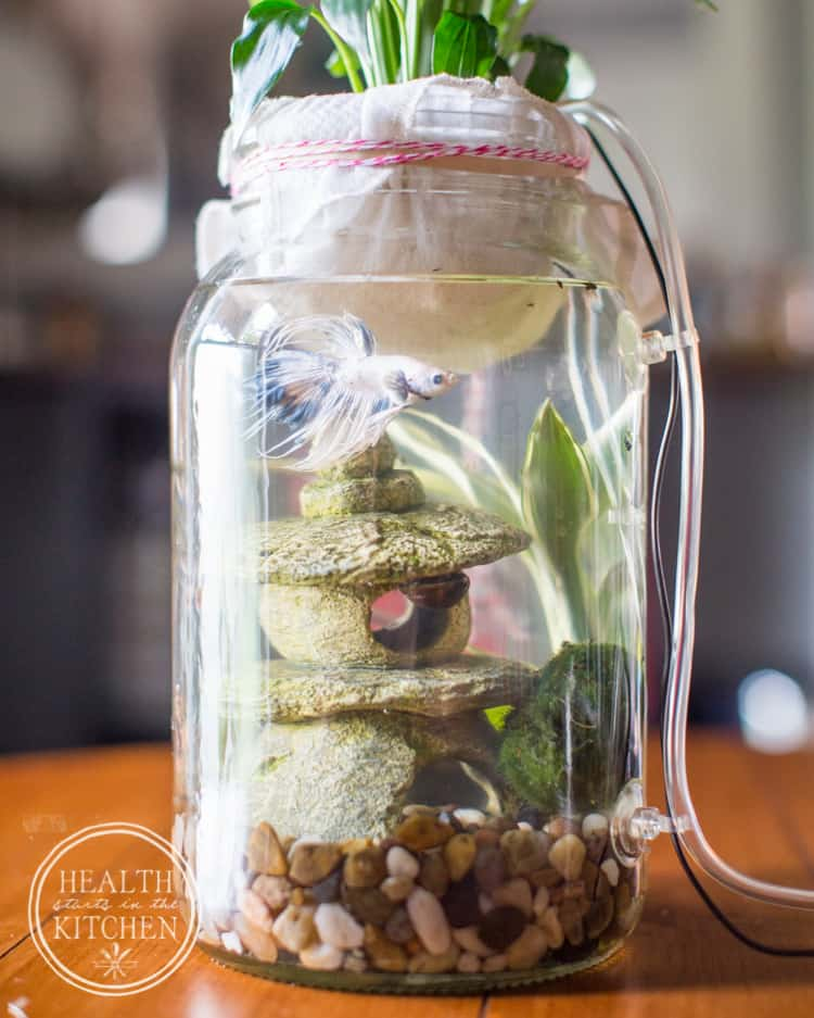 How to Make a DIY Mason Canning Jar Aquaponics Aquarium