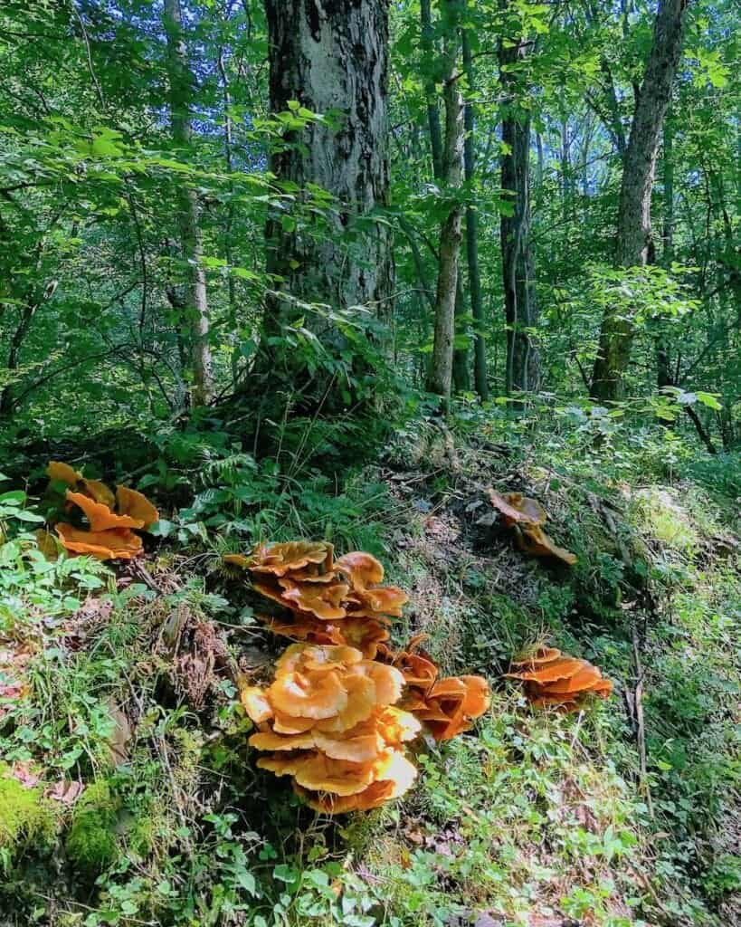 Not Chanterelle - these are jack-o-lantern mushrooms. Do NOT eat.