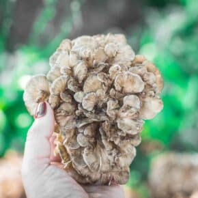 5 ways to Preserve Maitake Hen of the Woods Mushrooms