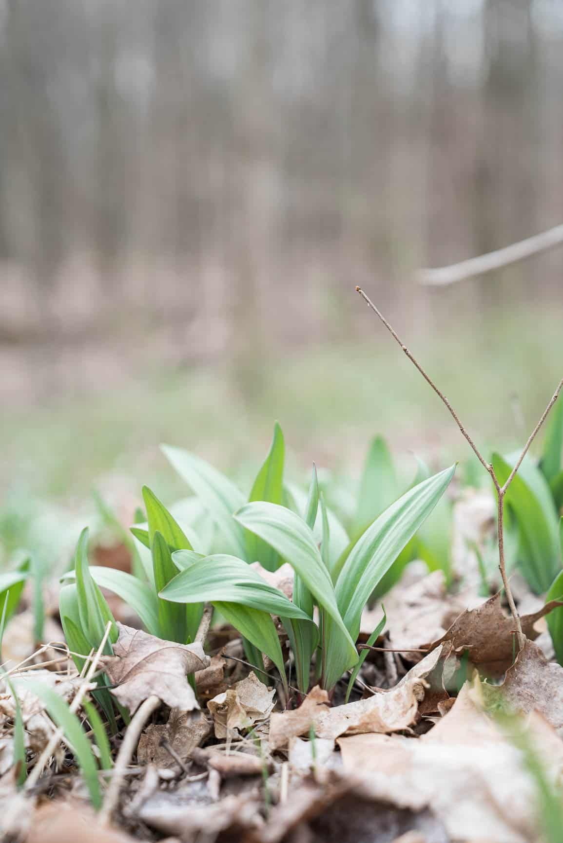 wild leek ramps growing in the woods