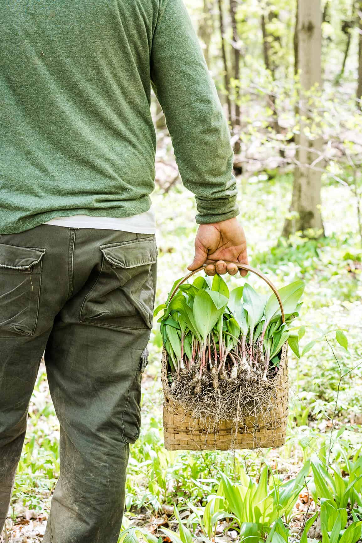 Man holding a basket of freshly dug wild leeks Ramps